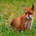 У селі Житомирського району відстрілюватимуть лисиць, компенсація за голову 100 грн