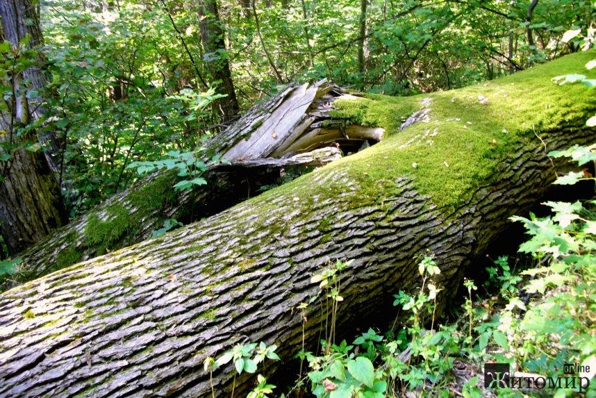 На Житомирщині через негоду дерева попадали на дороги і перекрили проїзд.ФОТО