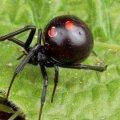 Нашествие ядовитых пауков в Украине: как уберечь себя и детей