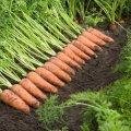 Как в ЕС: в Украине морковь подорожала до 50 гривен