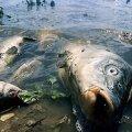 Збитки від втрати потомства загиблої на річці Гуйва риби склали 2,3 млн грн, - Держрибагентство в Житомирській області