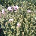 У Малинському районі пенсіонерка на городі вирощувала наркотичний мак