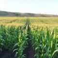 У Лугинському районі розтратили більше півмільйона гривень бюджетних коштів на посів поганої кукурудзи