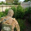 На Житомирщині виявили тисячі насаджень нарковмісних рослин