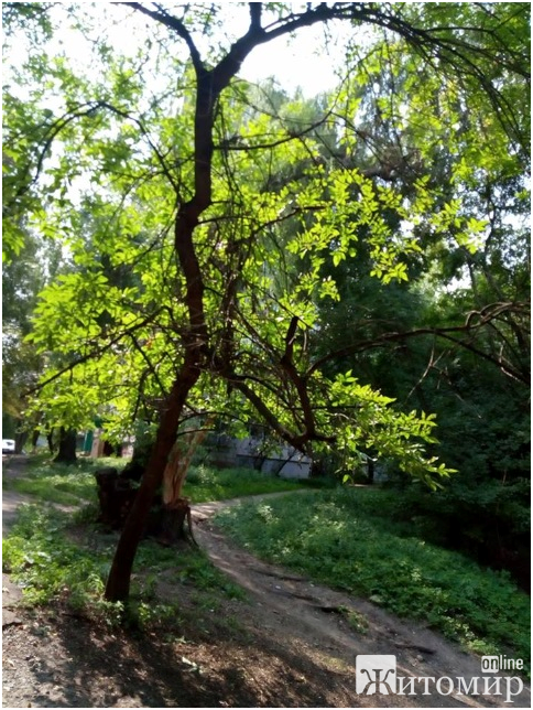 Масовий обвал дерев на площі Польовій майже ліквідовано у Житомирі. ФОТО