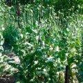 На Житомирщині у ході оперативно-профілактичних заходів «Мак» виявлено приблизно 500 заборонених рослин