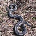 В Олевському районі двох людей покусали змії на власних подвір'ях