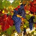 Врачи рассказали о невероятной пользе винограда