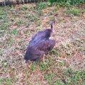 У с.Корчак Житомирського району птах отримав ураження електричним струмом та не може ходити