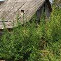 В Овруцькому районі прикордонники виявили в громадянки Молдови насадження конопель