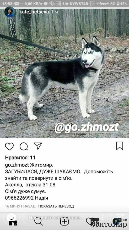 Допоможіть розшукати собаку в Житомирі! ФОТО