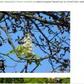 У Романові на Житомирщині вересень порадував цвітом каштанів