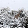 Фото дня: жирафів та слонів засипалом снігом в Африці