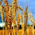 На Житомирщині проводять збір пізніх сільськогосподарських культур