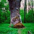 На Житомирщині росте дуб, якому понад 550 років. ФОТО