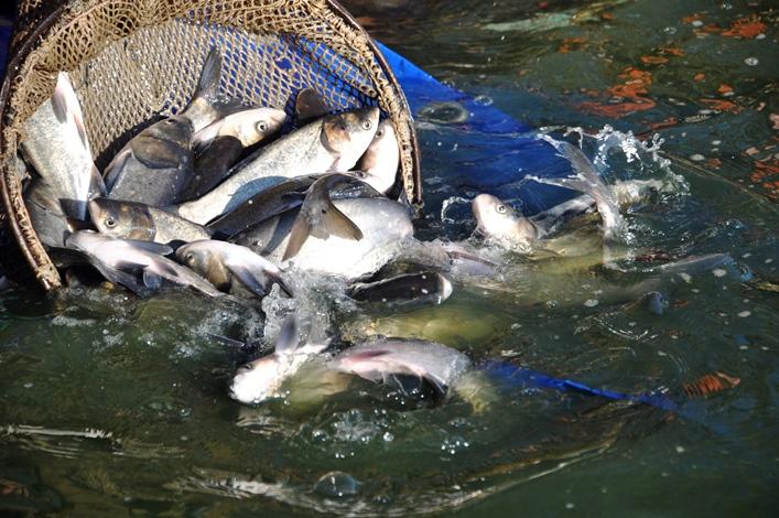 Для меліорації річки у Тетерів запустили більше 4 тисяч амурів і товстолобиків