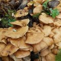 На Житомирщині чоловік на власному обійсті зібрав сім відер грибів зі старого пенька. ФОТО