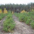 Найбільше в країні садять лісу на Житомирщині