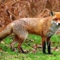 У Романівському районі у 11 лисиць із 19 впольованих виявили сказ