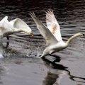 У Житомирі врятували лебедів з крижаної пастки на Тетереві