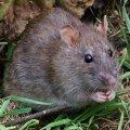 На Золотых воротах бешеная крыса покусала зоозащитницу