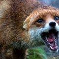 На Житомирщині вбили лиса хворого на сказ