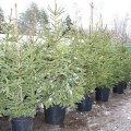 У Житомирі діє 6 офіційних пунктів продажу новорічних дерев