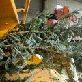 Новорічні дерева, які житомиряни здаватимуть на утилізацію, використають для обігріву теплиць