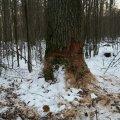 У лісі в Житомирському районі невідомі намагалися зрізати дуби