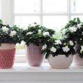 Квіти-розлучники, які руйнують сімейне життя – не тримайте їх в будинку