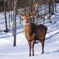 На Житомирщині у вільну природу випустили 26 оленів