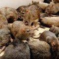 В центре столицы стаи крыс терроризируют киевлян