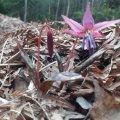 В лісах Бердичівського лісгоспу зацвіла унікальна квітка