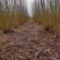 На Житомирщині готуються до збирання врожаю енергетичної тополі