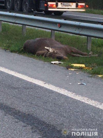 На Житомирщині лось спричинив подвійну смертельну аварію. ФОТО