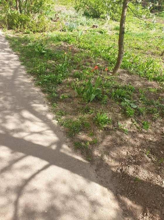 На Малікова нахабна мешканка мікрорайону повиривала з алеї всі тюльпани