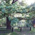 На Житомирщині росте дуб, який допомагає вилікуватися від хвороб, проти яких безсила медицина
