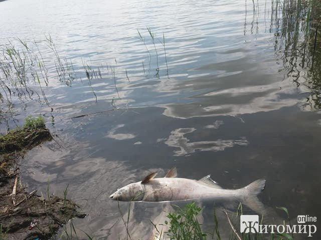 У Бердичеві недалеко від центрального пляжу плавають мертві риби. ФОТО