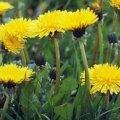 Запасіться кульбабою в період цвітіння