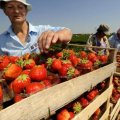 В Украине может возникнуть дефицит клубники