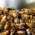 У Білокоровичах бджоли вбили коня