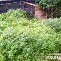 Поліцейські вилучили з обійстя жителя Житомирщини майже 8 тисяч рослин коноплі