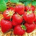 На Житомирщині в червні відбудеться перший Фестиваль полуниці