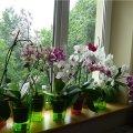 Чому не можна тримати вдома орхідею