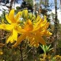 На Житомирщині можна спостерігати за надзвичайним видовищем - цвітінням азалії. ФОТО