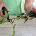 Троянди з букета – у квітник: як вкоренити подаровані квіти