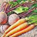 Щоб буряк і морква були смачні. Прості поради для городників