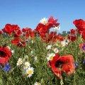 Яскраві барви польових квітів Житомирщини. ФОТО