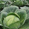 Этот овощ помогает в борьбе с диабетом второго типа
