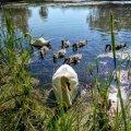 Дивовижне лебедине сімейство на околицях Житомира. ФОТО
